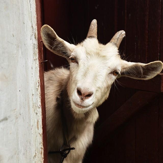 La cabra animal apacible que da nombre a una de las casas del Horóscopo Chino