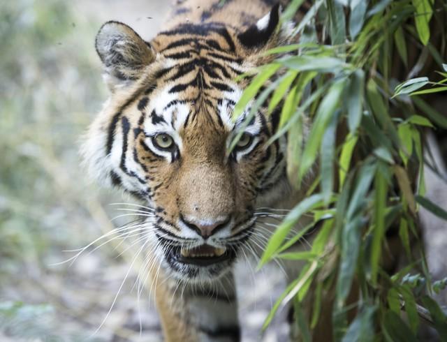 Tigre similar al signo del horóscopo chino