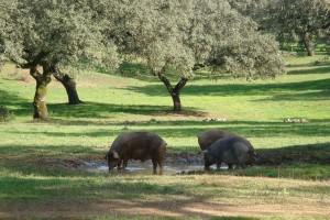 Cerdos similares al Horóscopo Chino del Cerdo