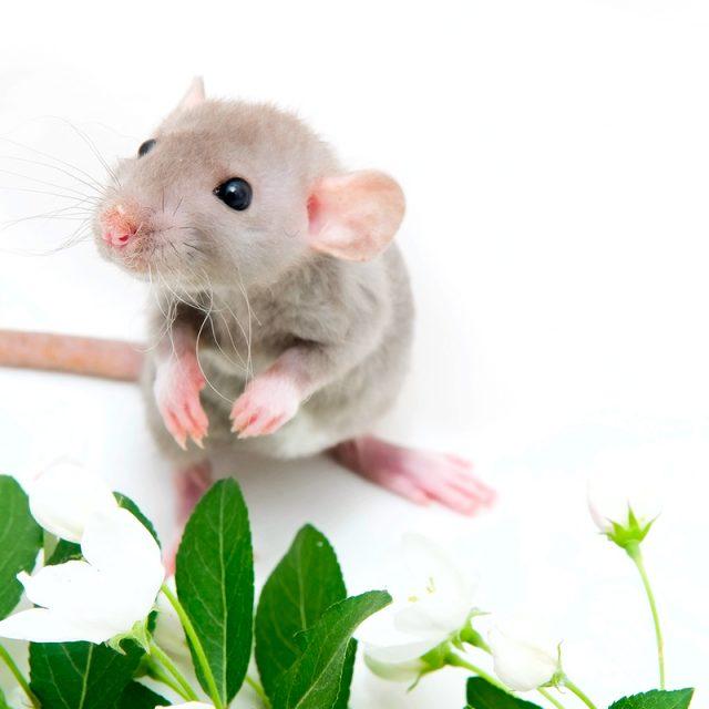 La rata uno de los 12 animales del Horóscopo Chino